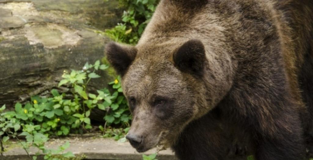 Abruzzo: orso entra in casa e terrorizza una famiglia
