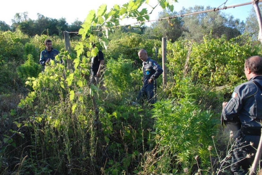 Traffico di droga, Ginosa come Bogotà: scoperta piantagione marijuana. Arrestato 39enne