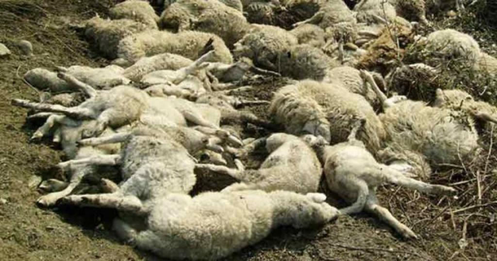 Il suo latte è fuori norma, lui stermina l'intero gregge e uccide 135 pecore e 4 cani