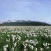 Altopiano delle Rocche, 71° edizione della Festa del Narciso, tra tradizione, novità e solidarietà