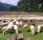Rassegna ovini, domani la mini transumanza a Campo Imperatore