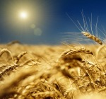Contro i prezzi bassi del Grano, la Cia lancia lo �sciopero della semina�