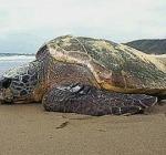 Spiaggiate sulla costa Adriatica, oltre 30 tartarughe caretta caretta, solo una recuperata  viva