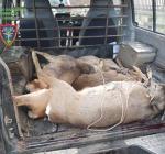 Uccidono 4 caprioli, denunciati sei bracconieri dal gruppo Carabinieri della Forestale