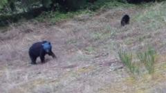L'orso dalla testa blu