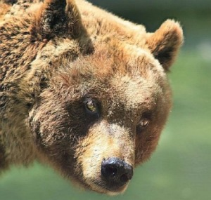 Orso irrompe dentro presepe di Civitella Alfedena per mangiare le verdure 