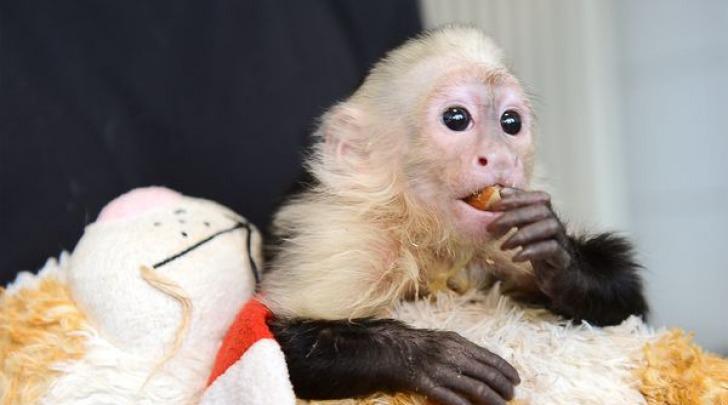 Molly, la scimmietta di Justin Bieber