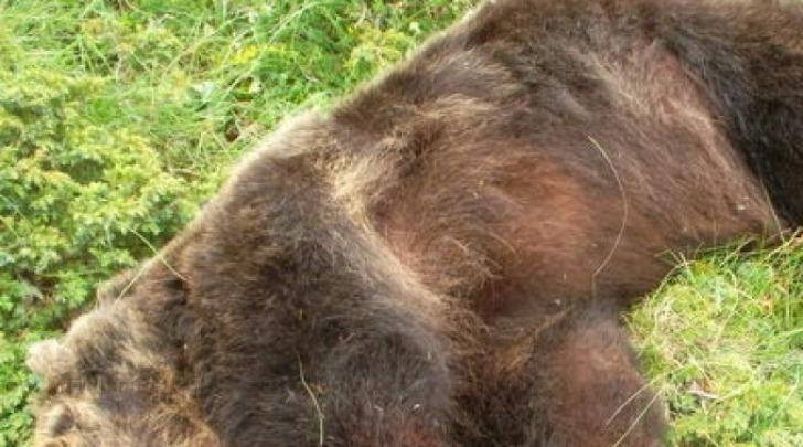 L'orso Stefano ucciso