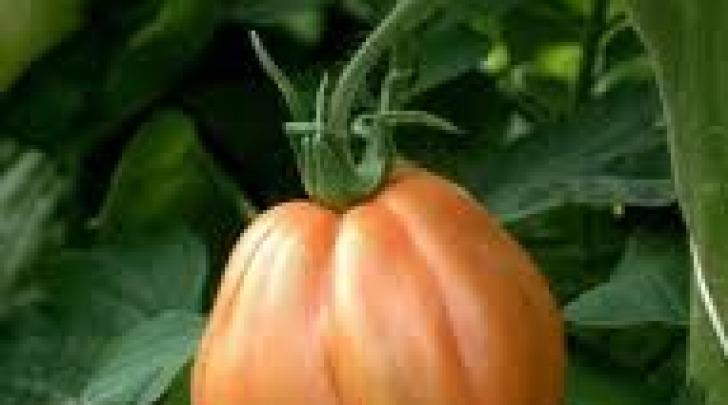 Pomodoro d'Abruzzo