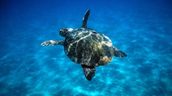 Tartaruga marina - foto di repertorio
