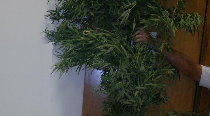 Pianta marijuana sequestrata