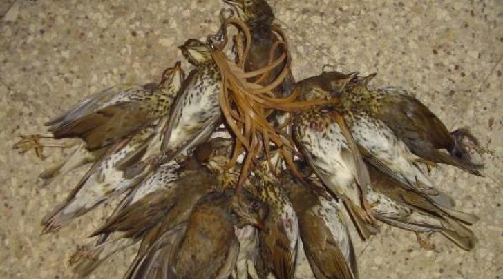 Quaglie uccise da un cacciatore