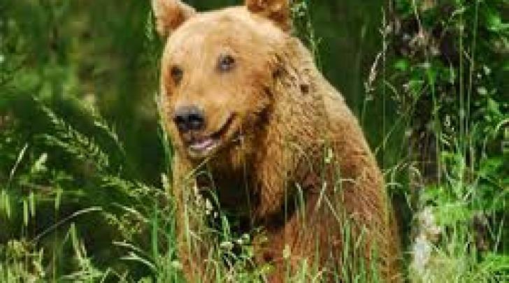 L'orsa Gemma