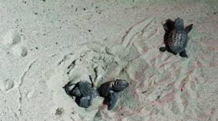 Tartarughine di mare