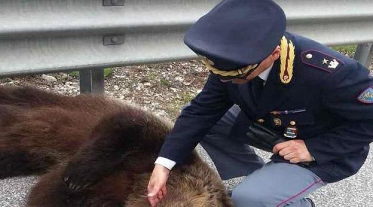 L'orso investito sull'A24