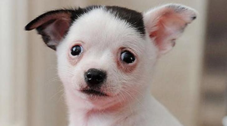 Adolf, il cane che somiglia a Hitler
