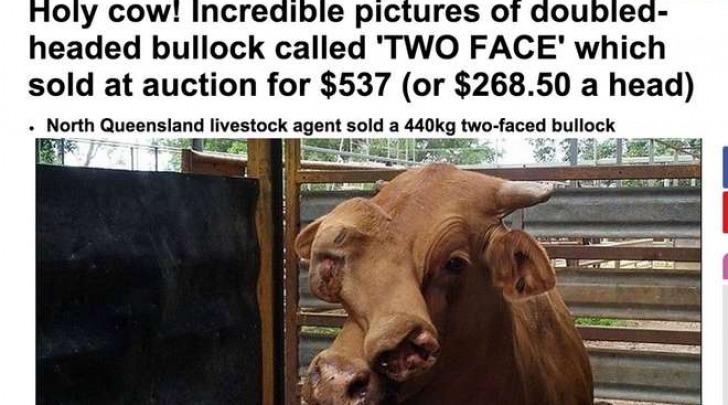 Il toro bifronte di 440 kg venduto al mattatoio (MailOnline)