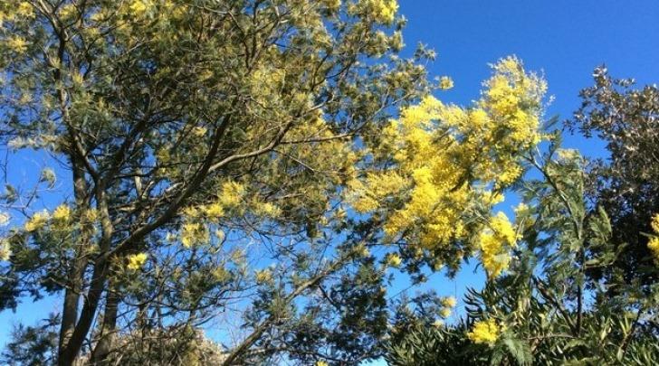 mimose anomale a dicembre