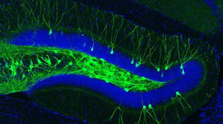 ippocampo, neuroni stimolati con la luce