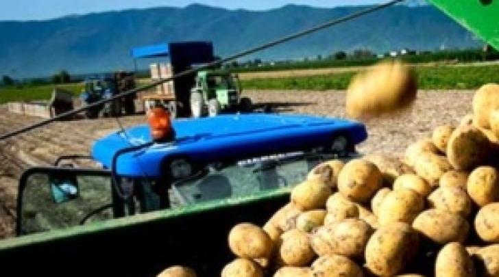 raccolta patate fucino