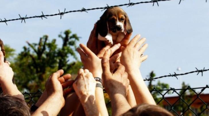 Uno dei cuccioli beagle liberati