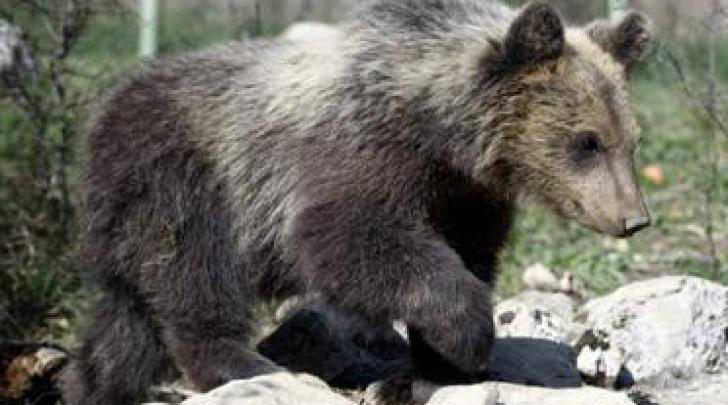 visita veterinaria prima rilascio orsa morena