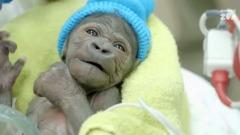piccola di gorilla