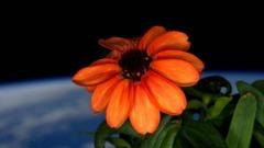 fiore sbocciato nello spazio (fonte: Scott Kelly, NASA)