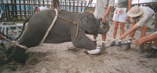elefante maltrattato