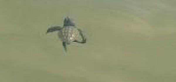 Una piccola tartaruga che prende il mare