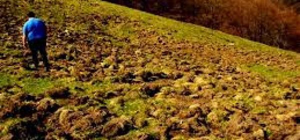 Campo danneggiato da cinghiali