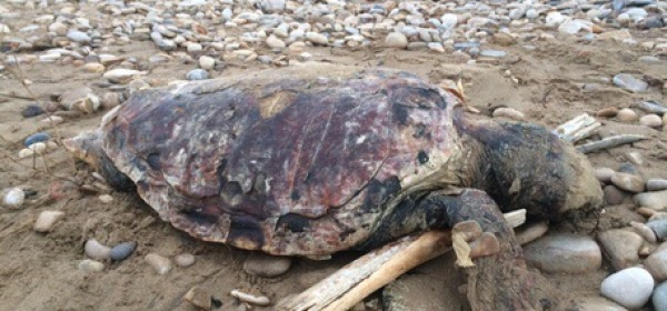 Tartaruga spiaggiata foto ansa