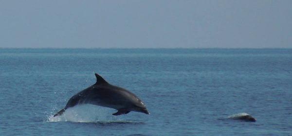 Delfini-avvistamento nei pressi di Torre Cerrano