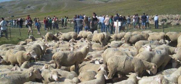 rassegna ovini-campo imperatore