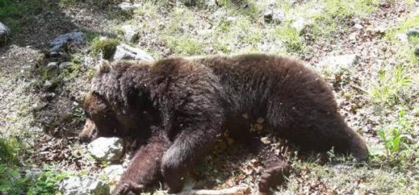 ef6f714faa Trovato Orso morto nel PNALM, sarebbe morto dopo lotta con altro plantigrado