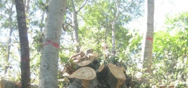 Gli alberi tagliati al bosco di Patrignone