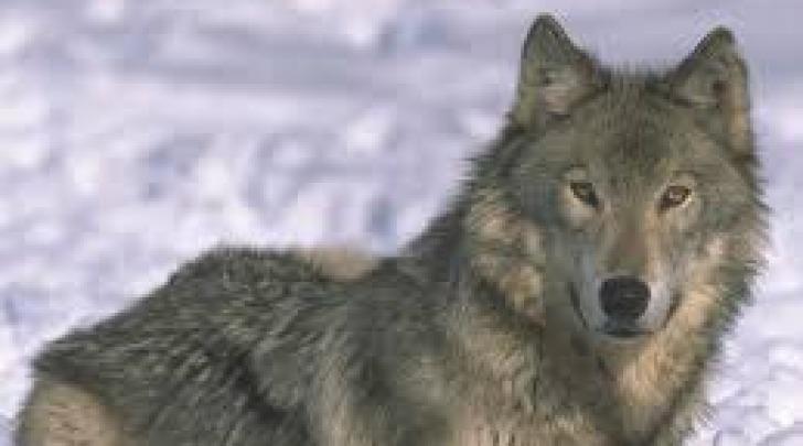 Un esemplare di lupo appenninico