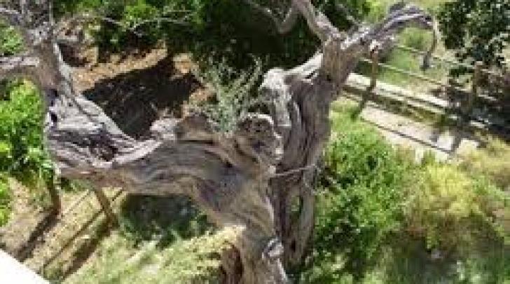 L'ulivo più anziano d'Abruzzo, ormai secco