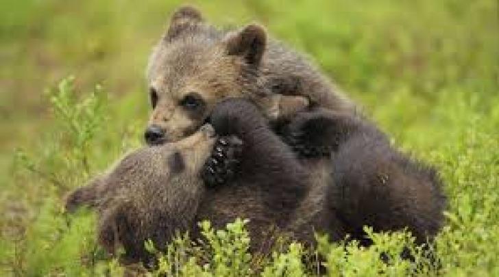 Cuccioli d'orso