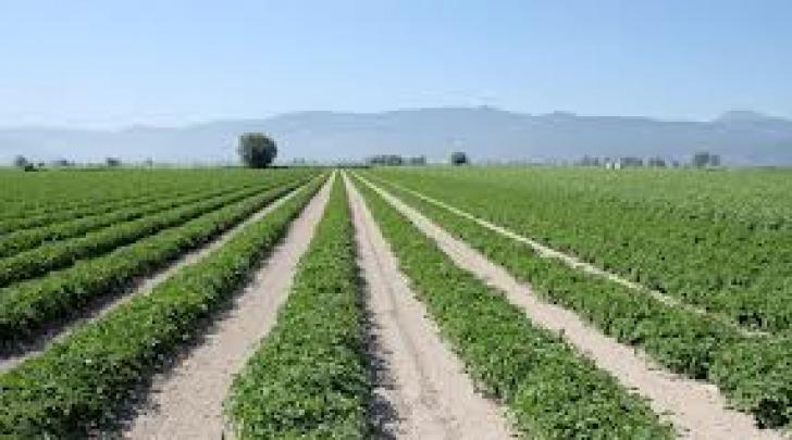 Campo patate Fucino