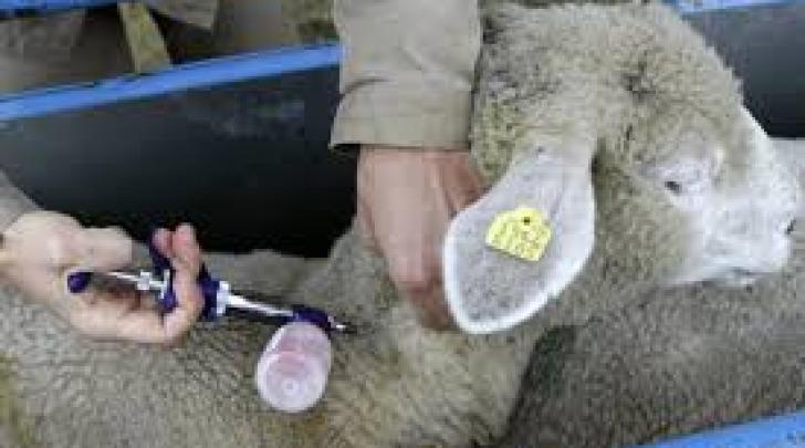 Vaccinazione ovini