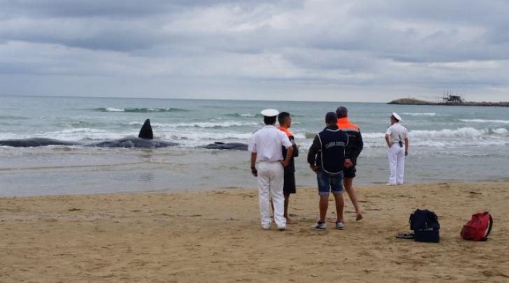 spiaggiamento cetacei