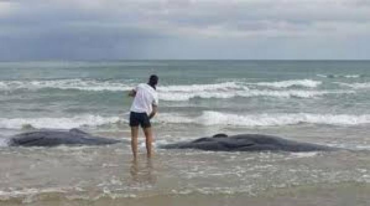 Capodogli spaiggiati a Punta Penna (foto AGI)