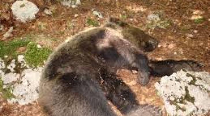 carcassa orso