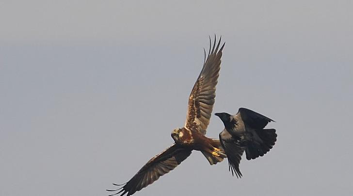 falco-piccione