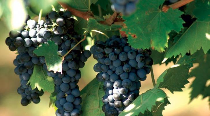 Uva Montepulciano d'Abruzzo