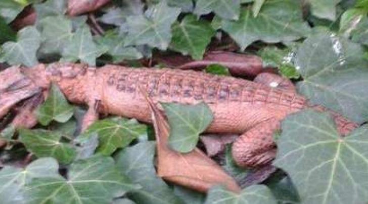 Bacoli, caimano trovato in un giardino