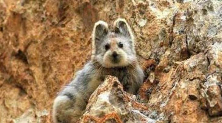 Il pika di Ili è uno degli animali più misteriosi del pianeta.