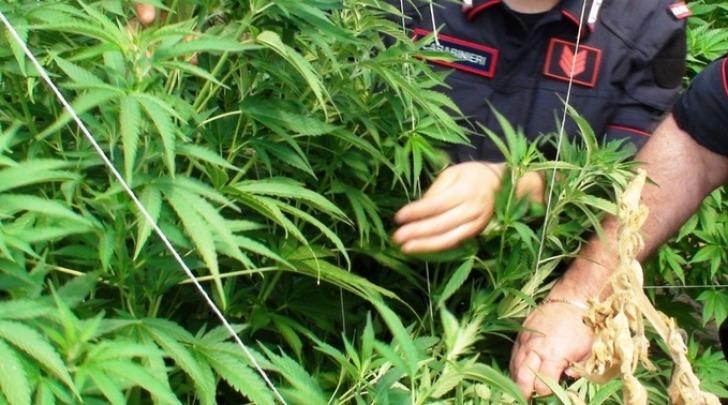 maxi coltivazione di marijuana