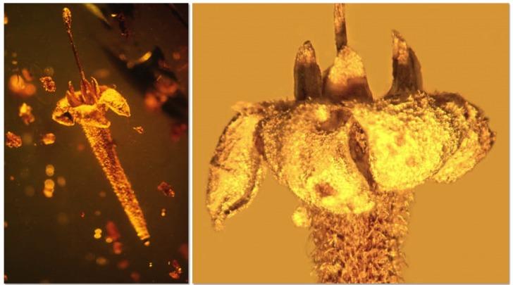 Un fiore di 30 milioni anni fa, intrappolato nell'ambra (fonte: George Poinar)
